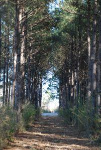Pine Tree Lane